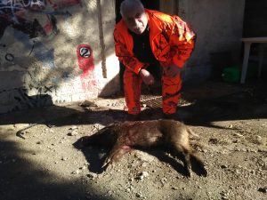 sanglier qui rencontre un cochon